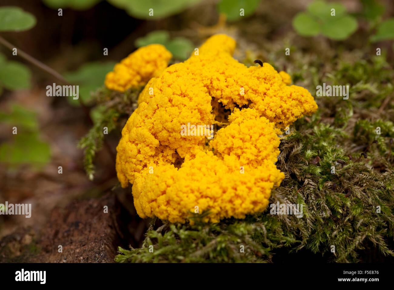 Orange Schleim Schimmel (Fuligo Septica) auf Stamm Stockbild