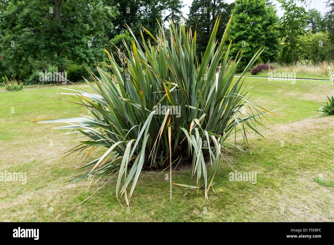 Neuseeland-Flachs, Phormium Tenax Stockfoto