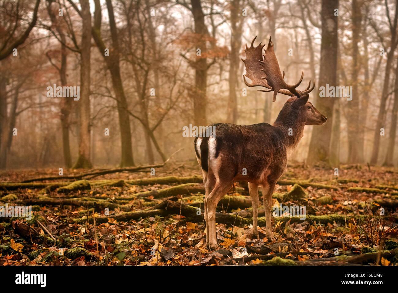 Brache lieber in nebligen Wald Stockbild
