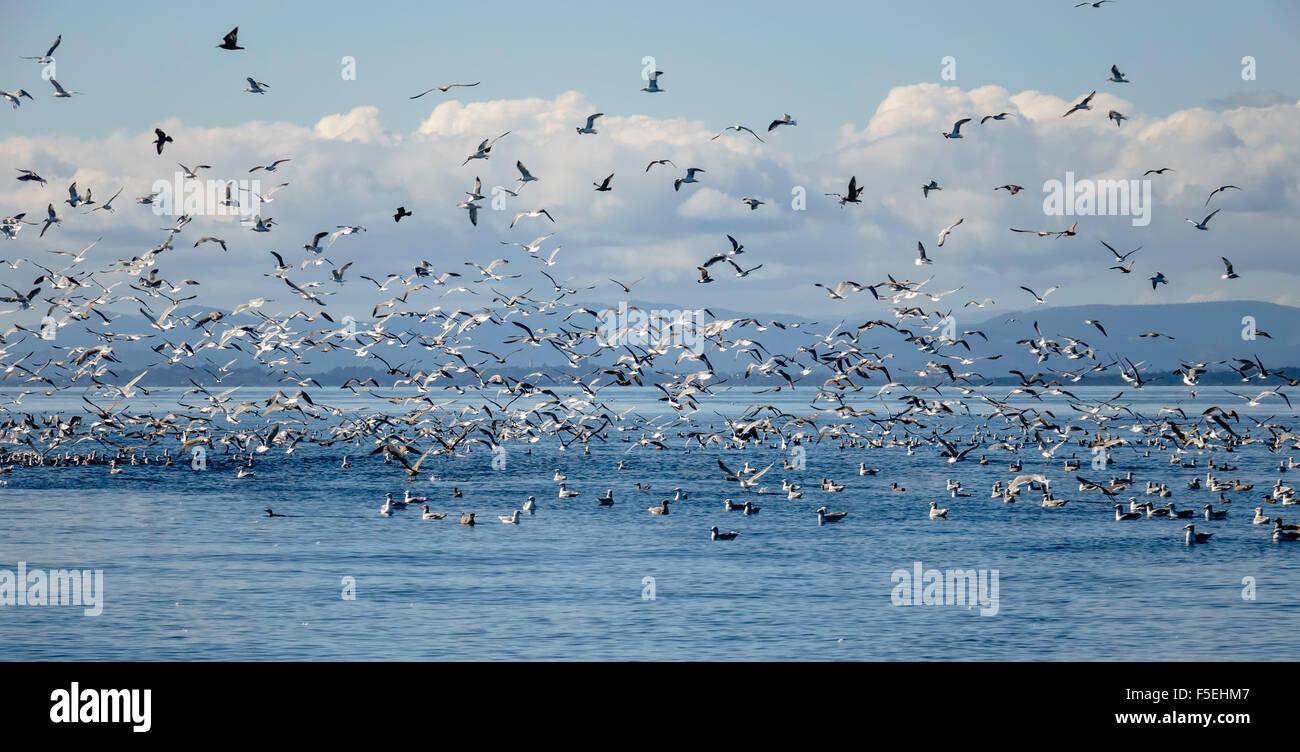 Möwen und andere Vögel fliegen über Meer, Puget Sound, Washington, USA Stockbild