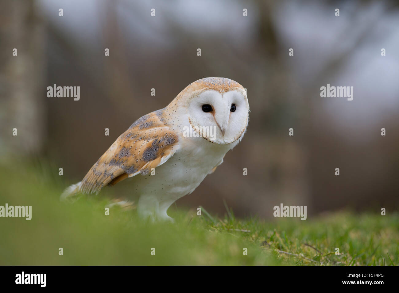 Schleiereule; Tyto Alba Single am Boden; Cornwall; UK Stockfoto