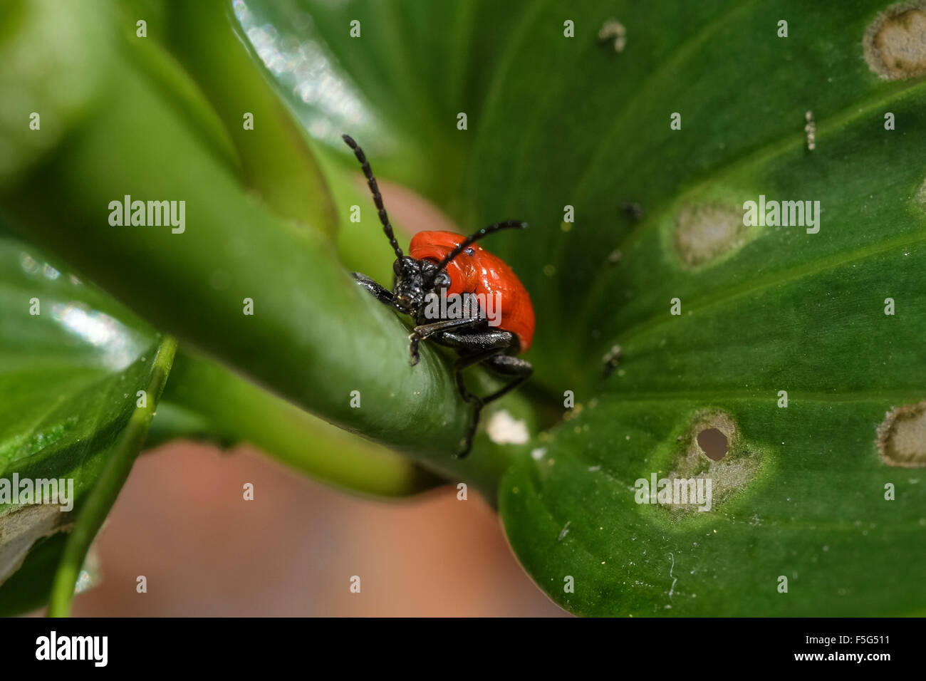 beetle leaves stockfotos beetle leaves bilder alamy. Black Bedroom Furniture Sets. Home Design Ideas