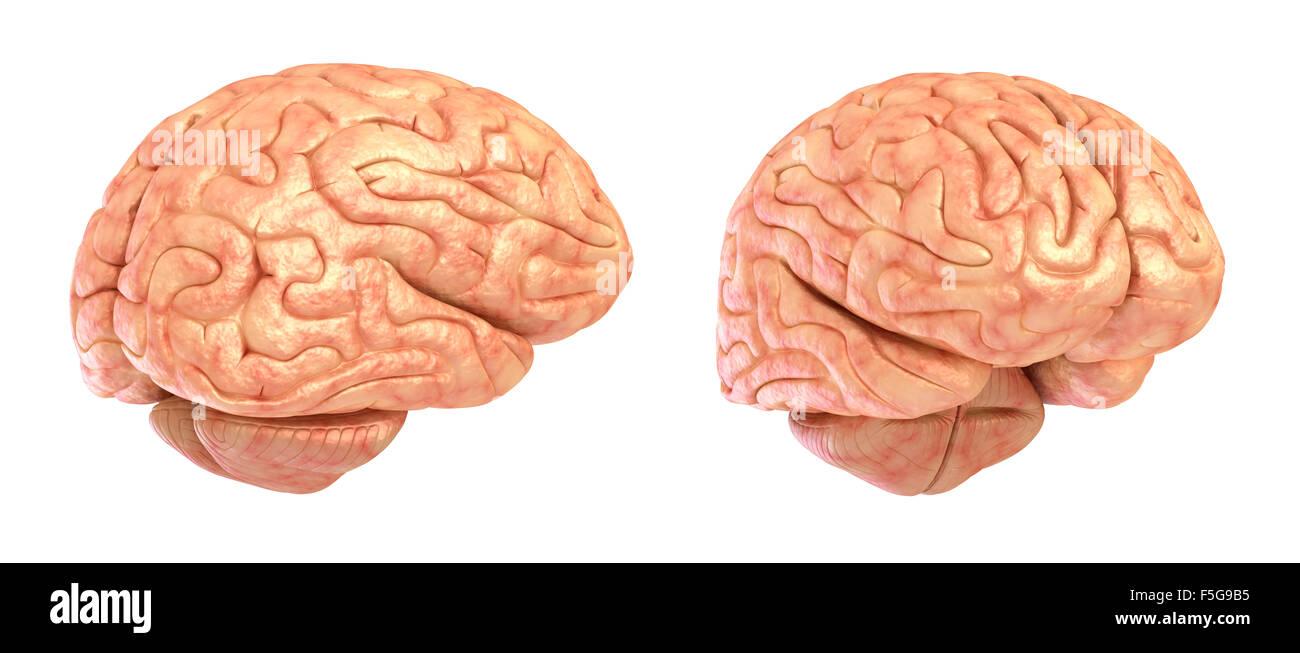Menschliche Gehirn 3D-Modell, isoliert Stockfoto, Bild: 89483721 - Alamy