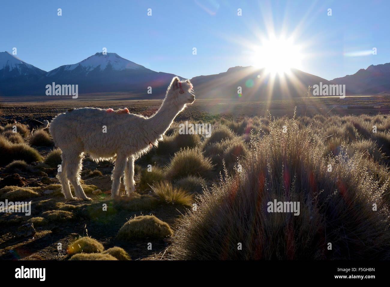 Llama (lama glama) auf der Weide, Hintergrundbeleuchtung, Altiplano, Sajama Nationalpark, Bolivien Stockbild
