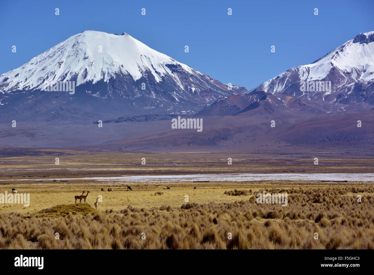 Schneebedeckte Vulkane pomerape und Parinacota, Vicuñas oder vicugnas (vicugna vicugna), Sajama Nationalpark Stockbild