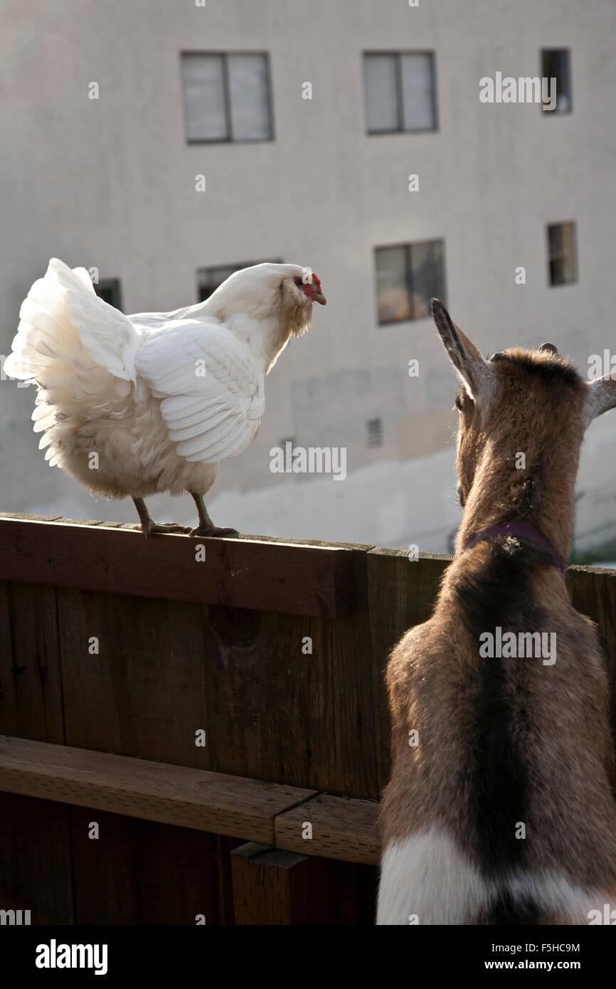ein weißes Huhn und eine Ziege zu suchen, über einen Zaun, Weg von der Kamera in einem städtischen Stockbild