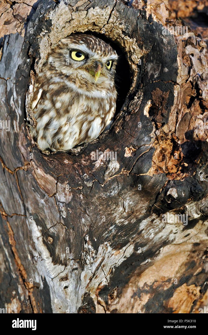 Steinkauz (Athene Noctua) durch Nest Loch im alten Baum suchen Stockbild