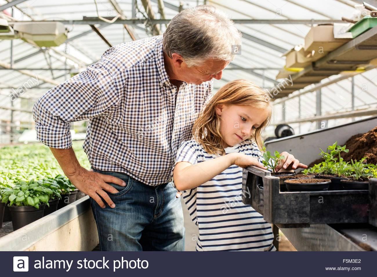 Großvater lehrt Enkelin, Sämlinge im Gewächshaus Pflanzen Stockbild