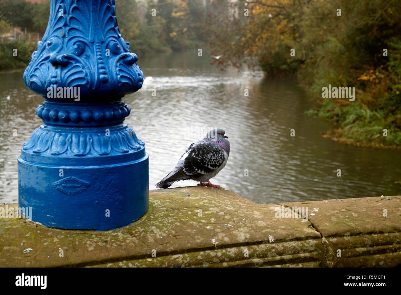 Wilde Taube auf Mill Bridge, Leamington Spa, Warwickshire, UK Stockbild