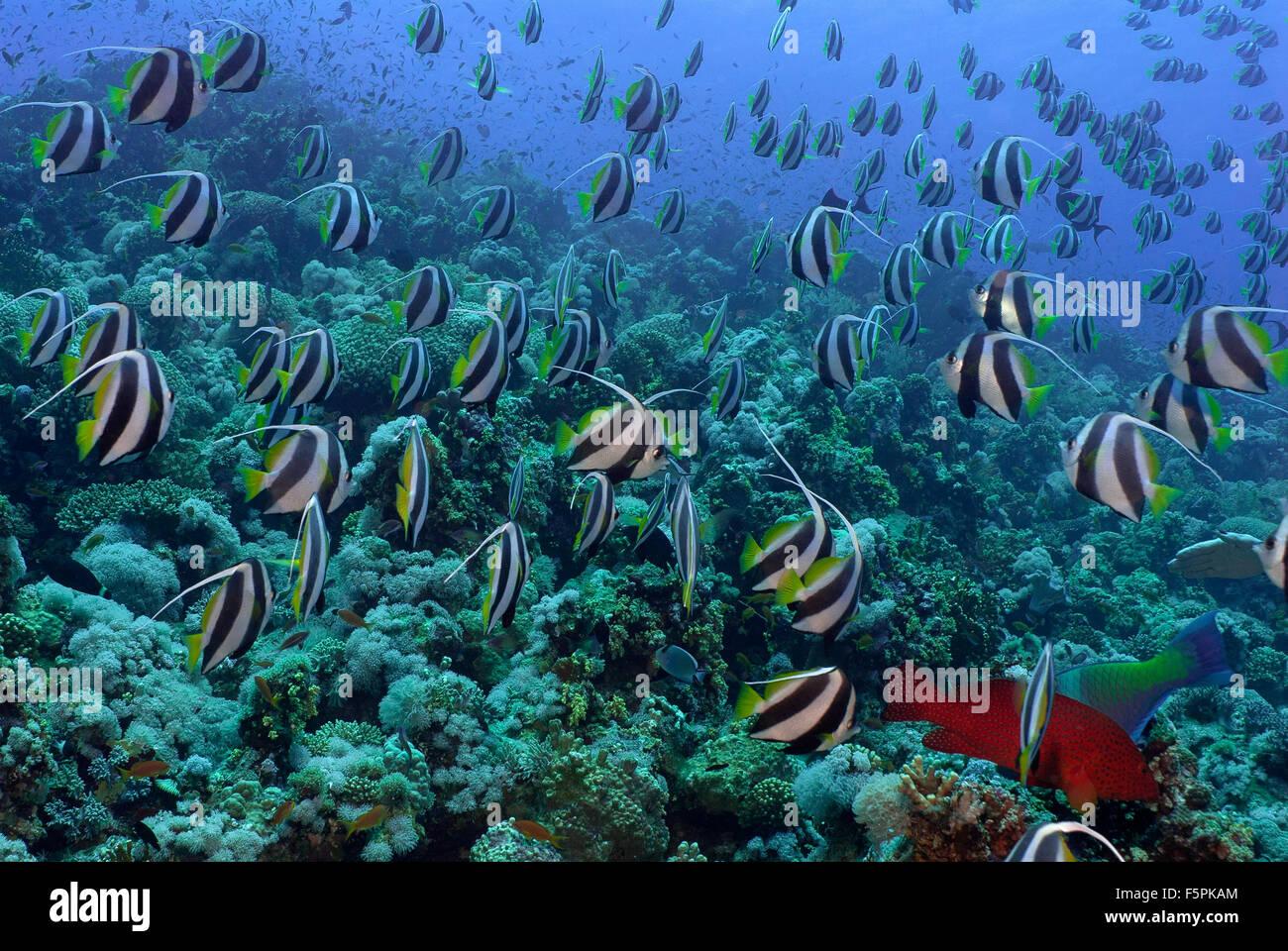 Schulzeit Bannerfish, Heniochhus Diphreutes, Chetodontidae, Tiran Island, Rotes Meer, Sharm el-Sheikh, Ägypten Stockbild
