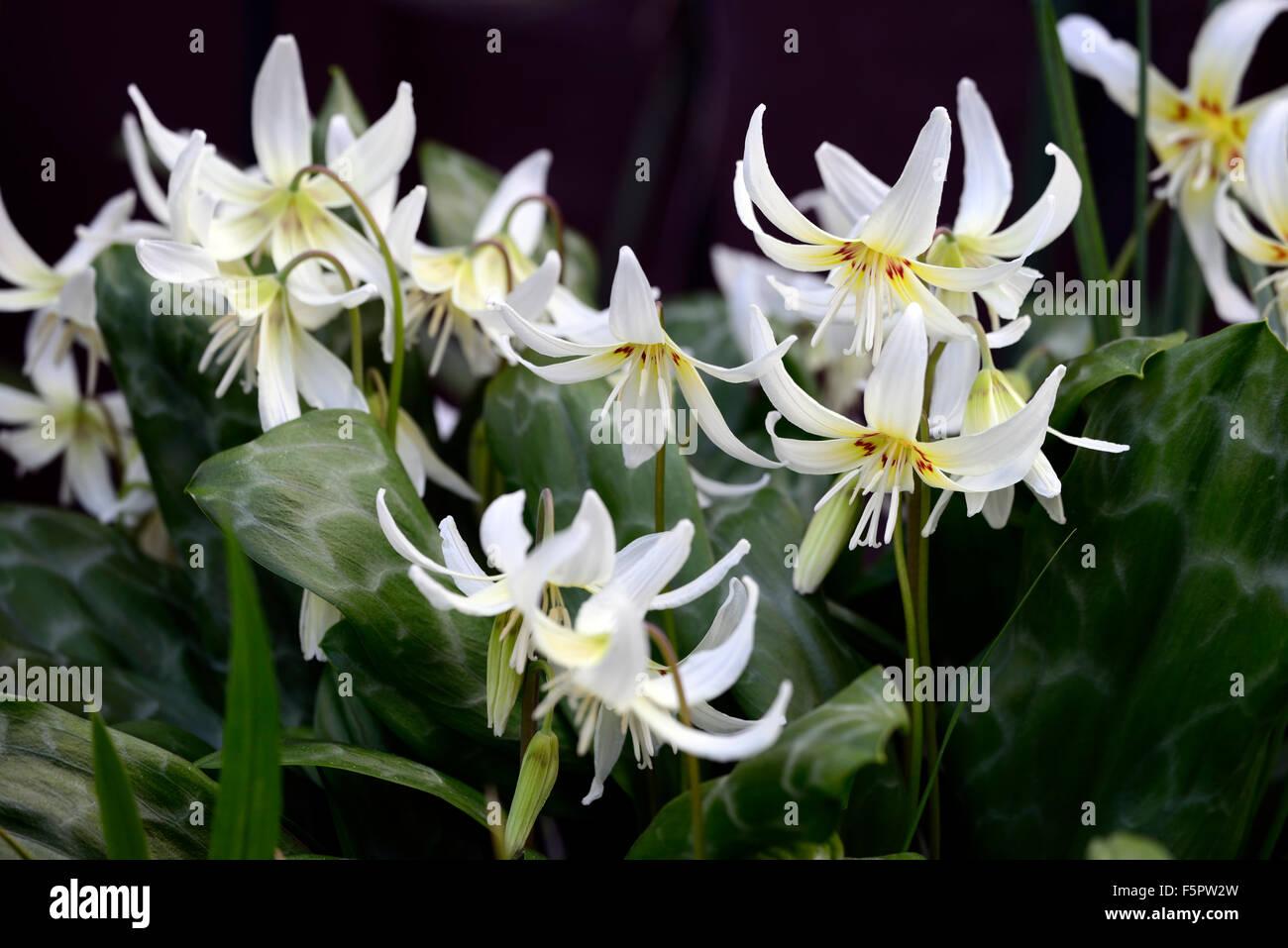 Erythronium Californicum weiße Pracht Fawn Lily Dogstooth violett ...