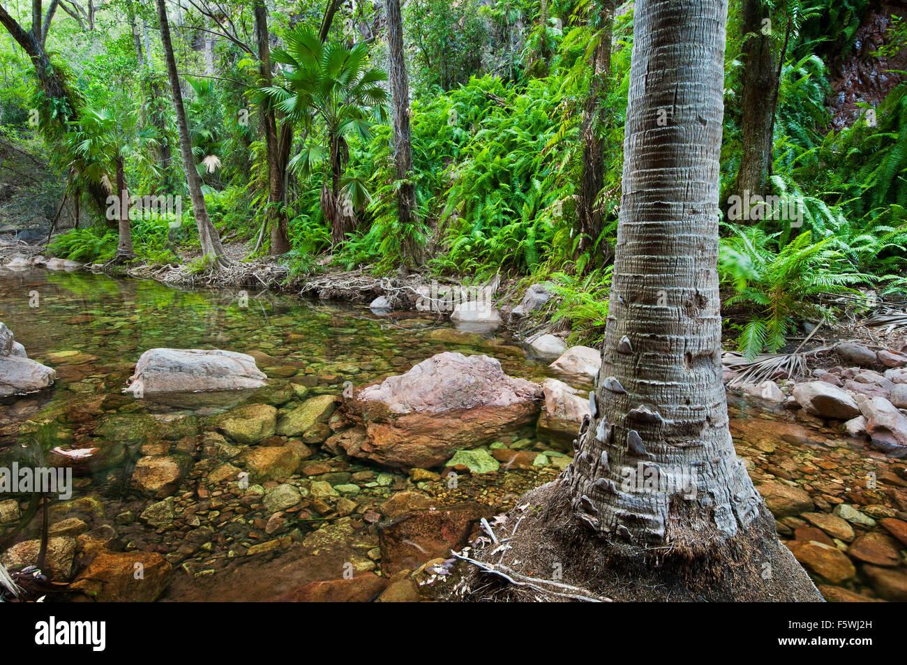 Livistona Palmen in El Questro Gorge. Stockbild