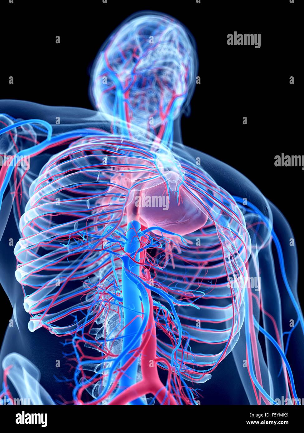 das menschliche Gefäßsystem - thorax Stockfoto, Bild: 89734045 - Alamy