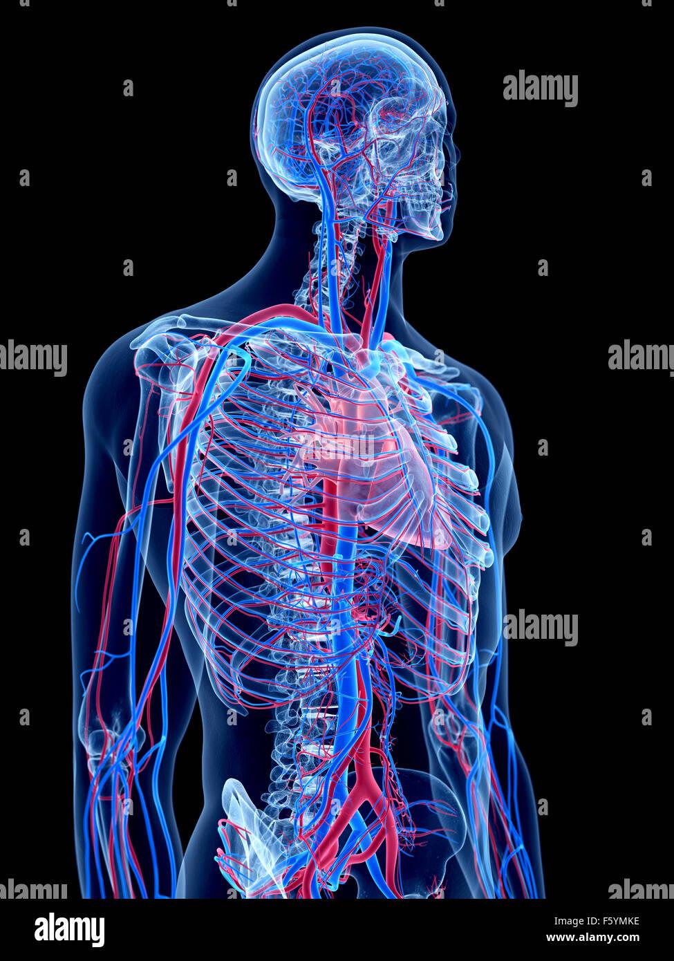 das menschliche Gefäßsystem - thorax Stockfoto, Bild: 89734050 - Alamy