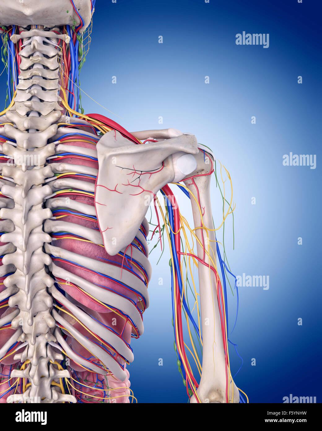 medizinisch genaue Abbildung der Schulter-Anatomie Stockfoto, Bild ...