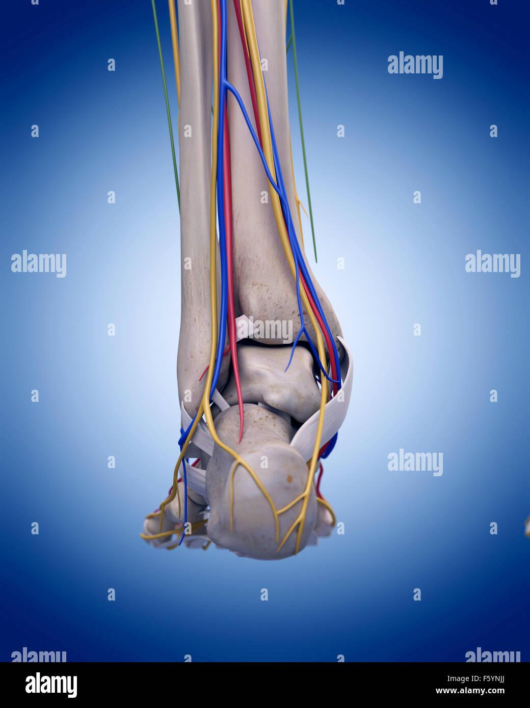 medizinisch genaue Darstellung der Anatomie des Fußes Stockfoto ...