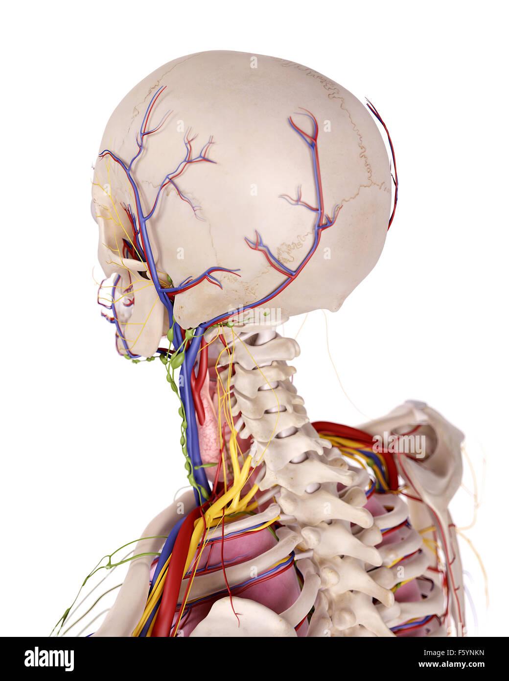 medizinische genaue Abbildung der Kopf Anatomie Stockfoto, Bild ...