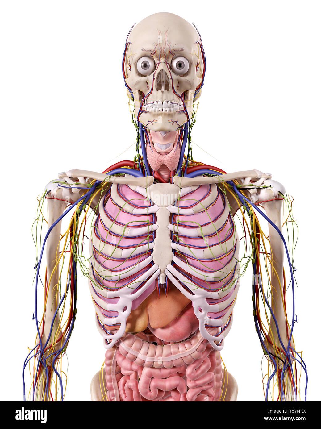 medizinische genaue Abbildung der Anatomie Brustkorb Stockfoto, Bild ...