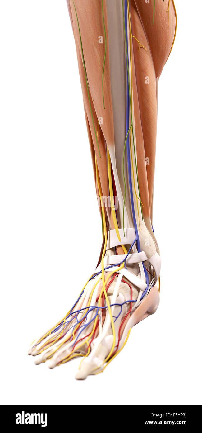 Großzügig Anatomie Des Fußes Nerven Bilder - Menschliche Anatomie ...