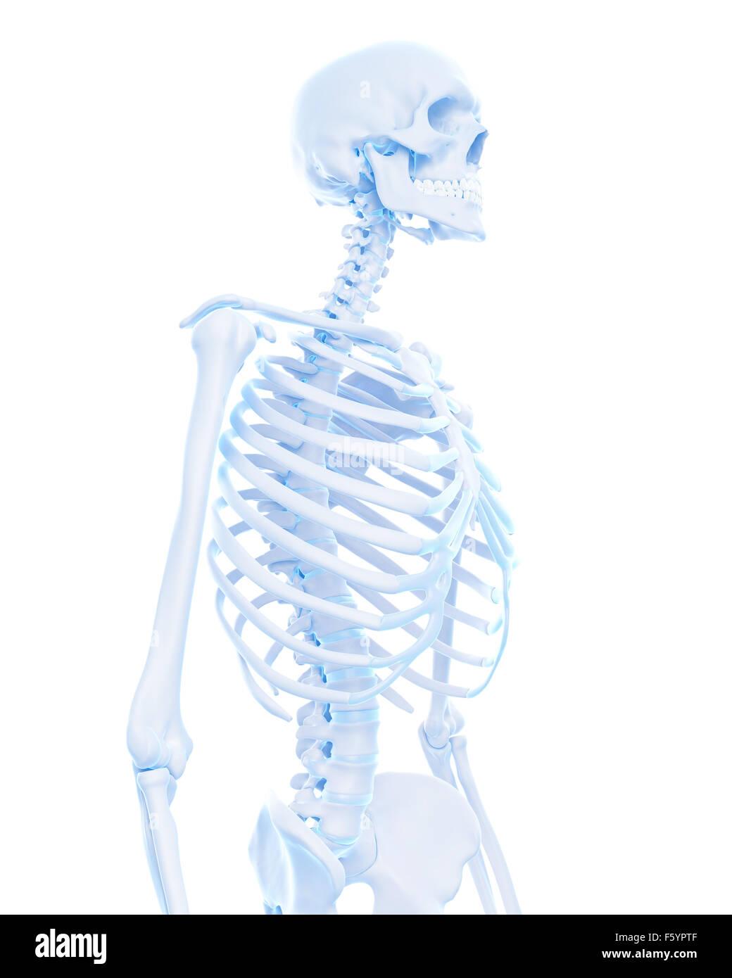 Wunderbar Brustkorb Anatomie Knochen Bilder - Anatomie Von ...