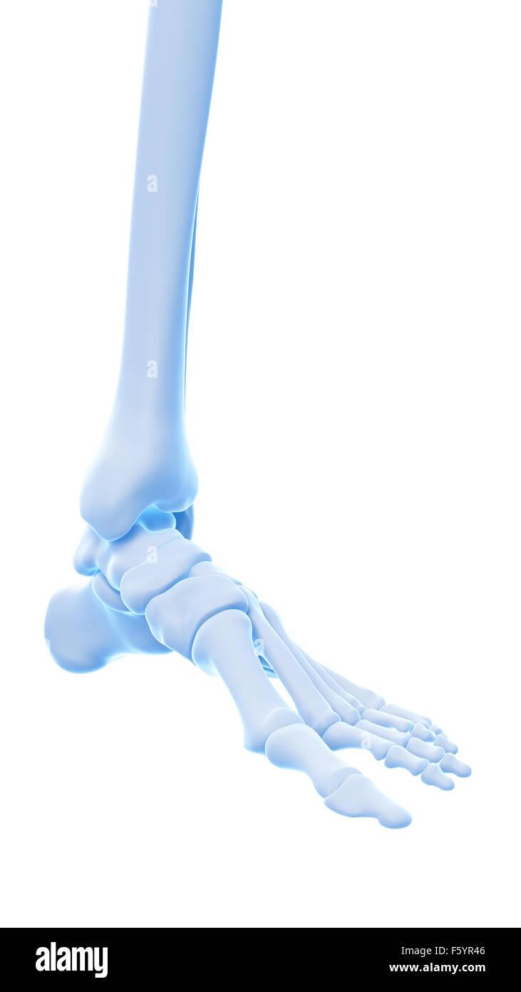medizinisch genaue Abbildung der Knöchel Knochen Stockfoto, Bild ...