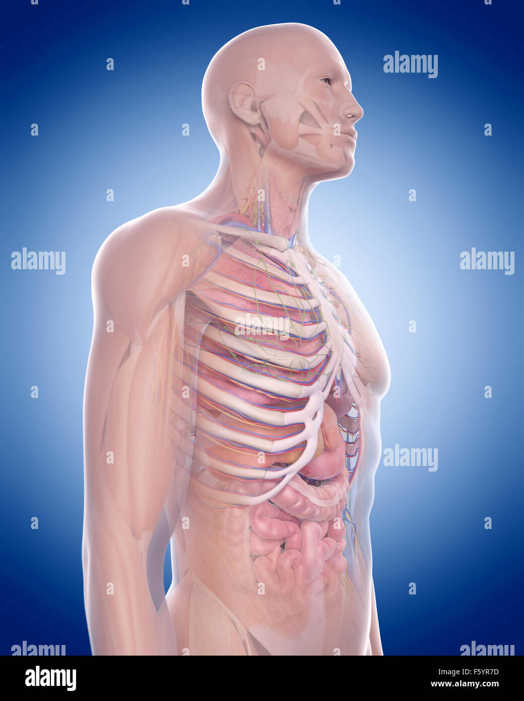 medizinisch genaue Abbildung der Anatomie Brustkorb Stockfoto, Bild ...