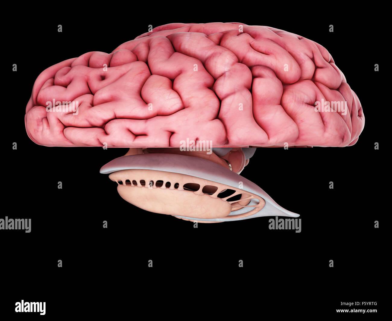 Amygdala Of The Brain Stockfotos & Amygdala Of The Brain Bilder - Alamy