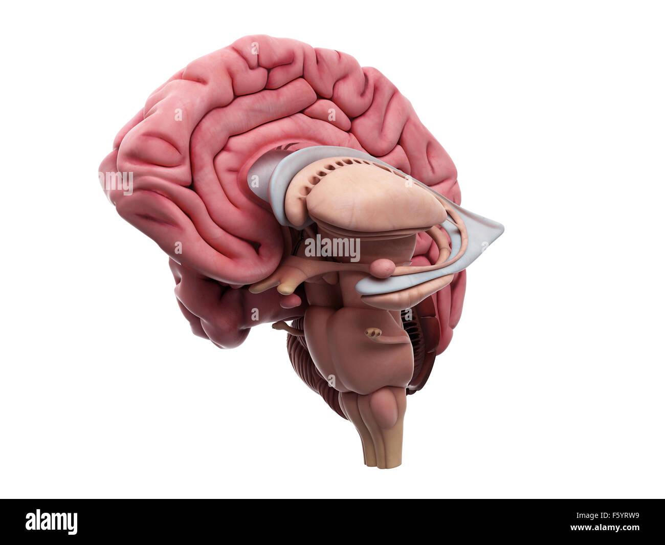medizinisch genaue Darstellung der Anatomie des Gehirns Stockfoto ...