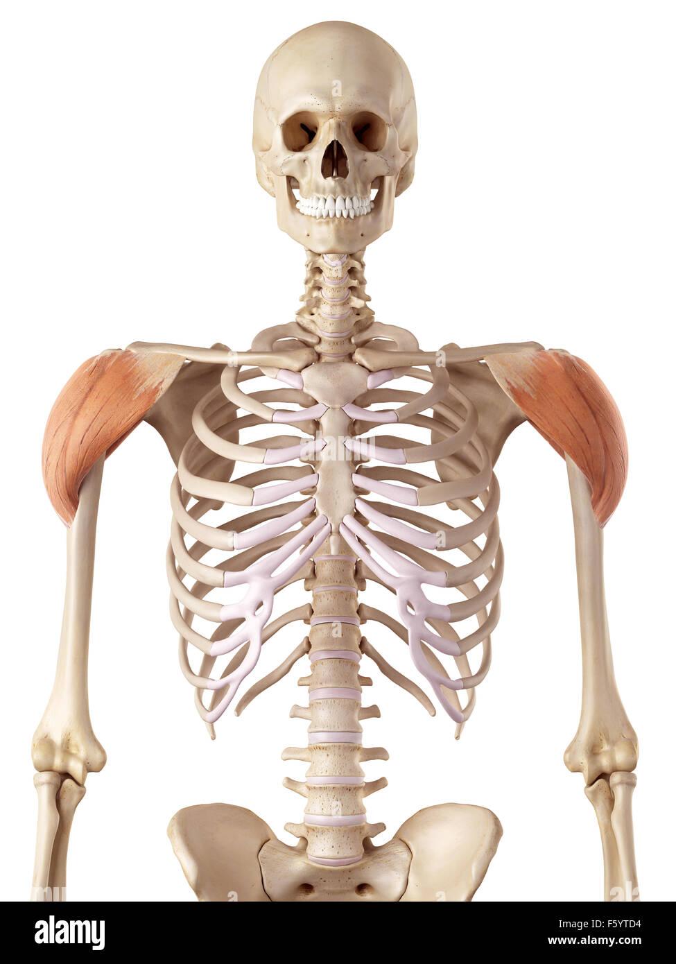Nett Wo Die Deltoidmuskel Befindet Galerie - Anatomie Ideen ...