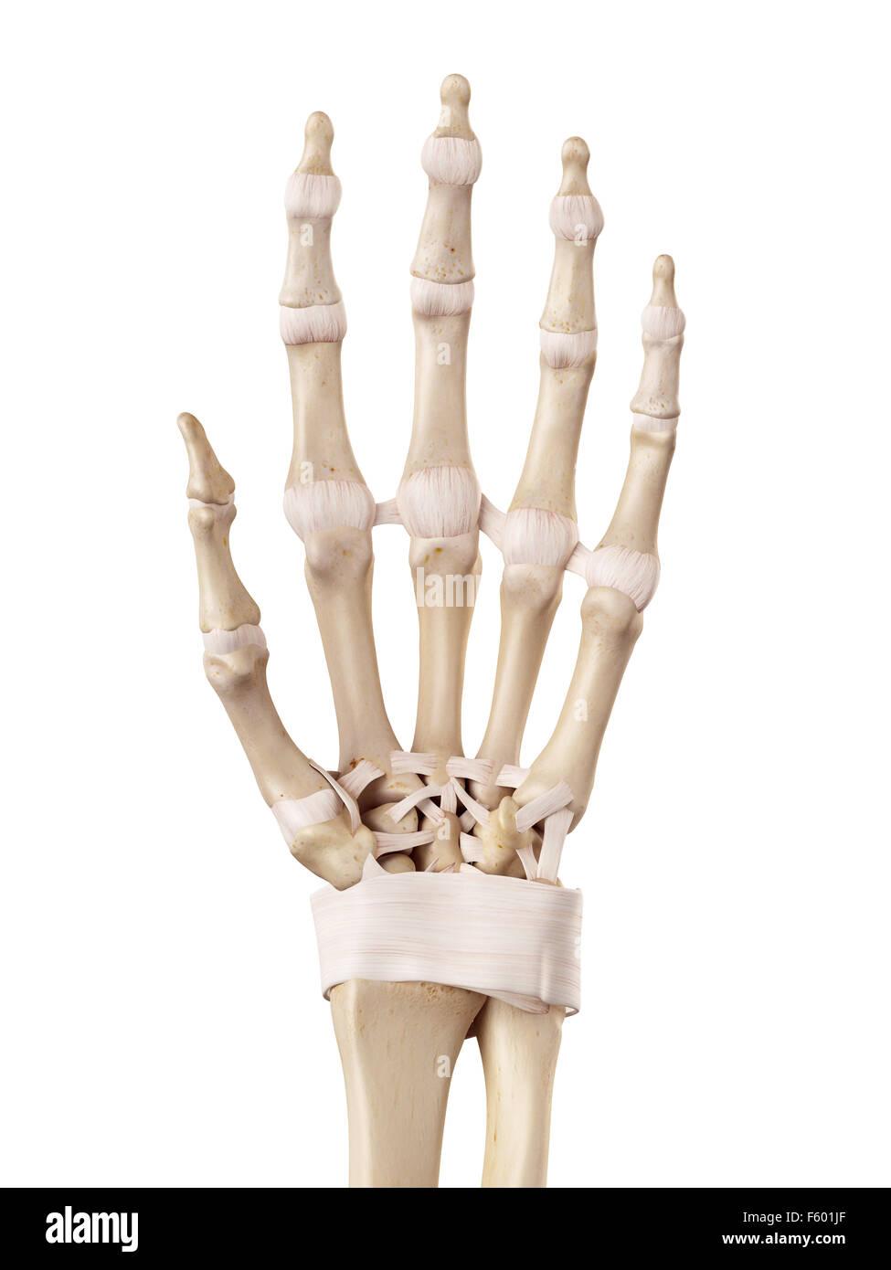 medizinische genaue Abbildung der Hand Bänder Stockfoto, Bild ...