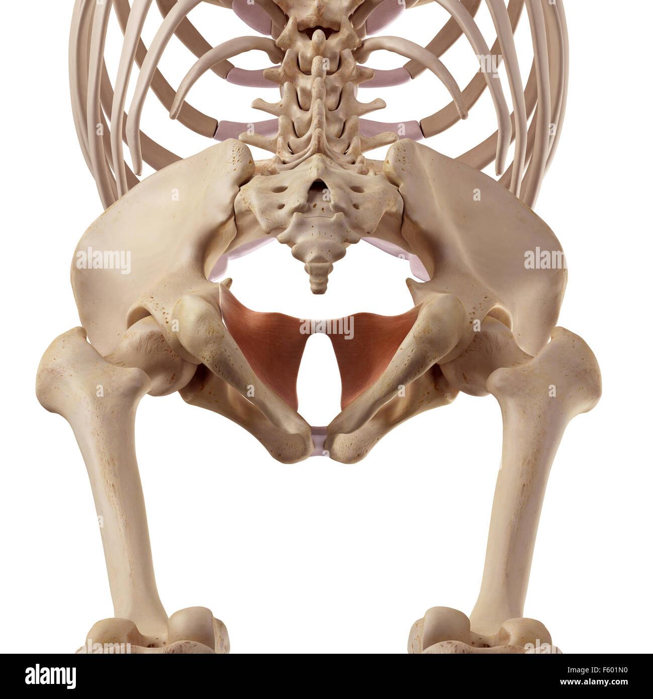 medizinische genaue Darstellung der coccygeus Stockbild