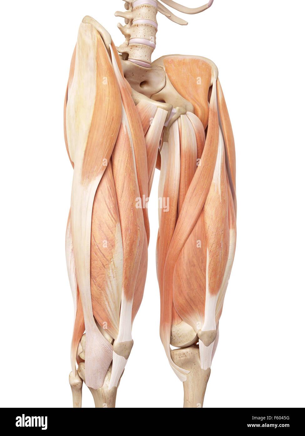 Wunderbar Anatomie Der Beinmuskulatur Und Sehnen Ideen - Menschliche ...