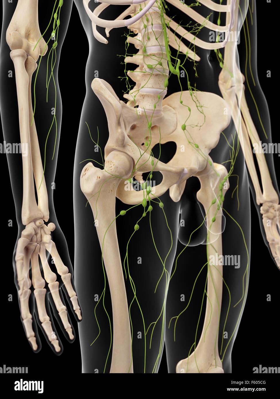 medizinisch genaue Abbildung der inguinalen Lymphknoten Stockfoto ...