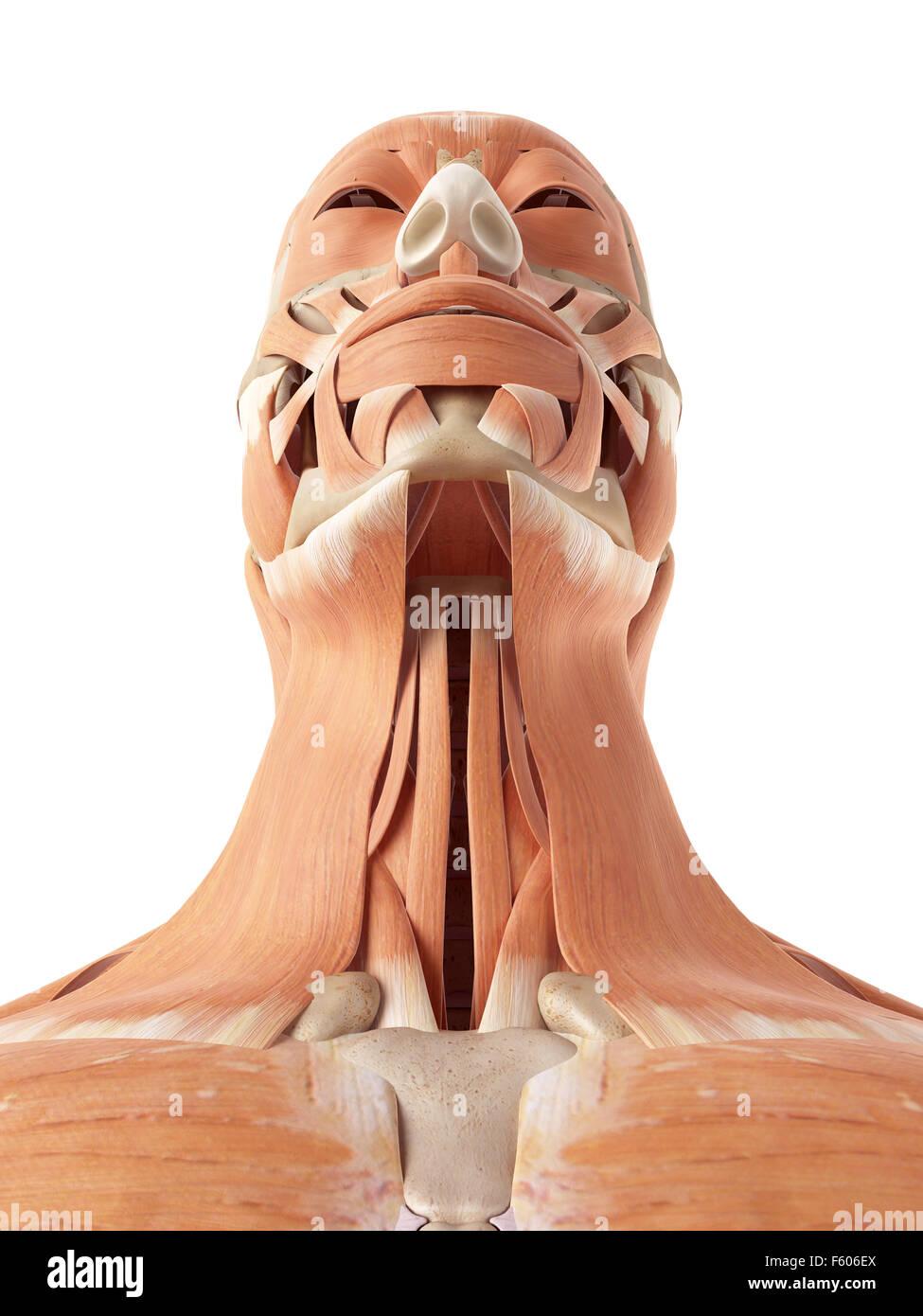 medizinische genaue Abbildung der Hals und Rachen Muskeln Stockfoto ...