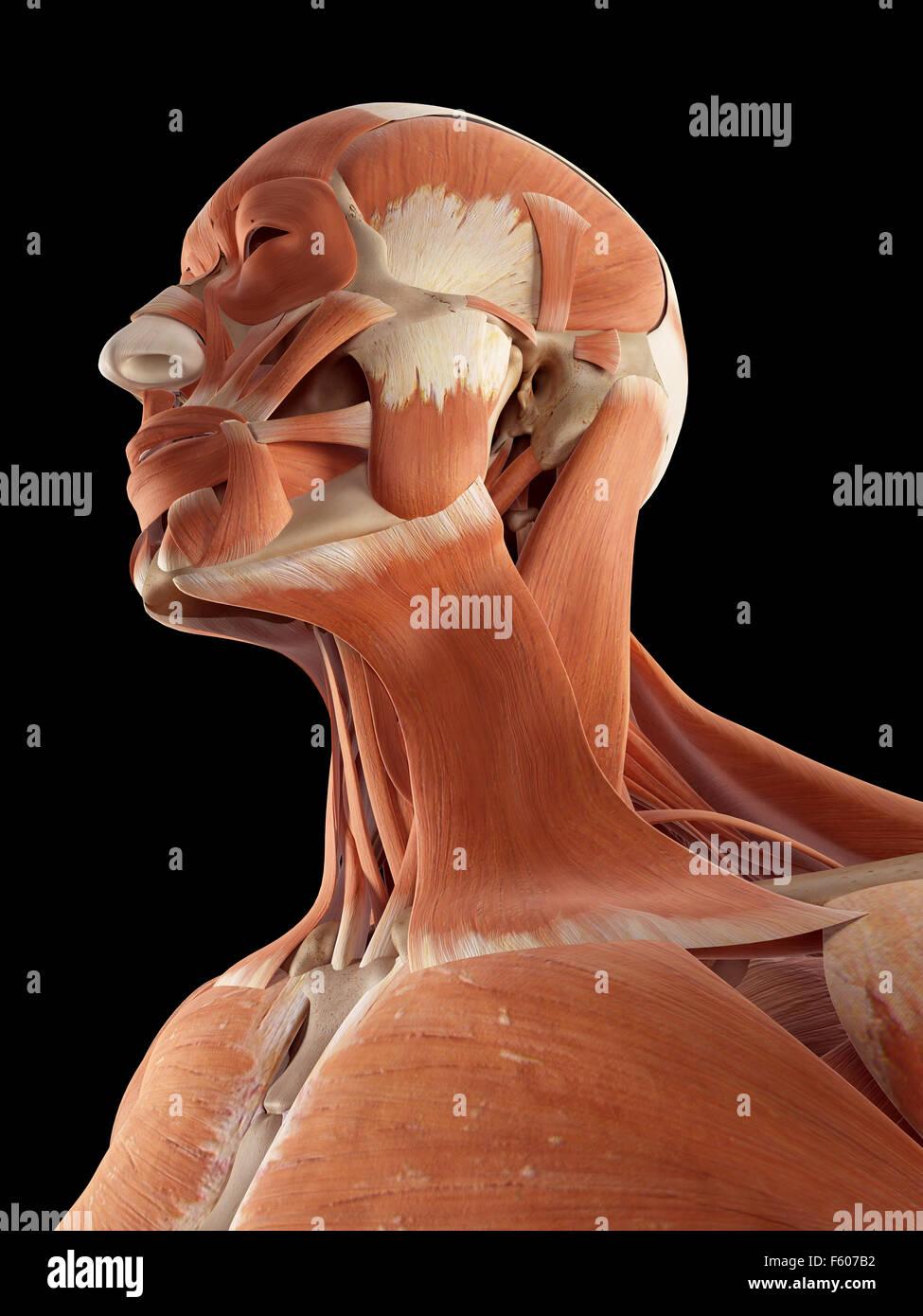 Berühmt Muskeln Im Nacken Diagramm Fotos - Menschliche Anatomie ...