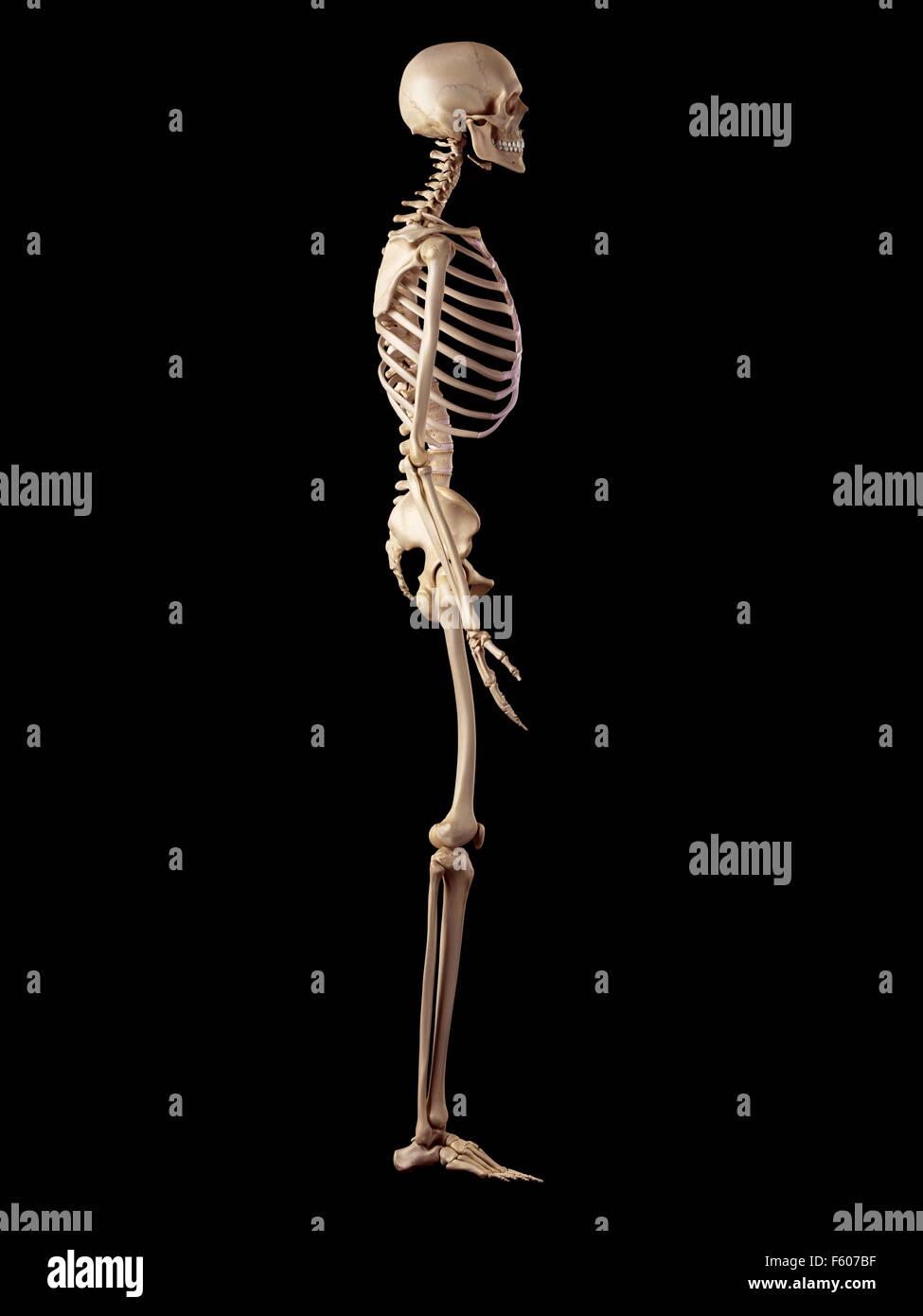 medizinische genaue Abbildung des menschlichen Skeletts Stockbild
