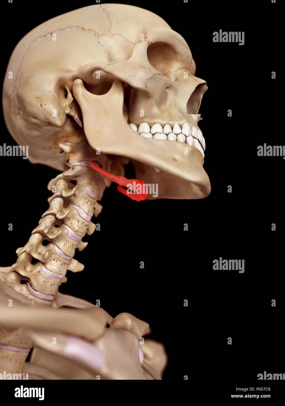 medizinische genaue Abbildung des Zungenbeins Stockbild