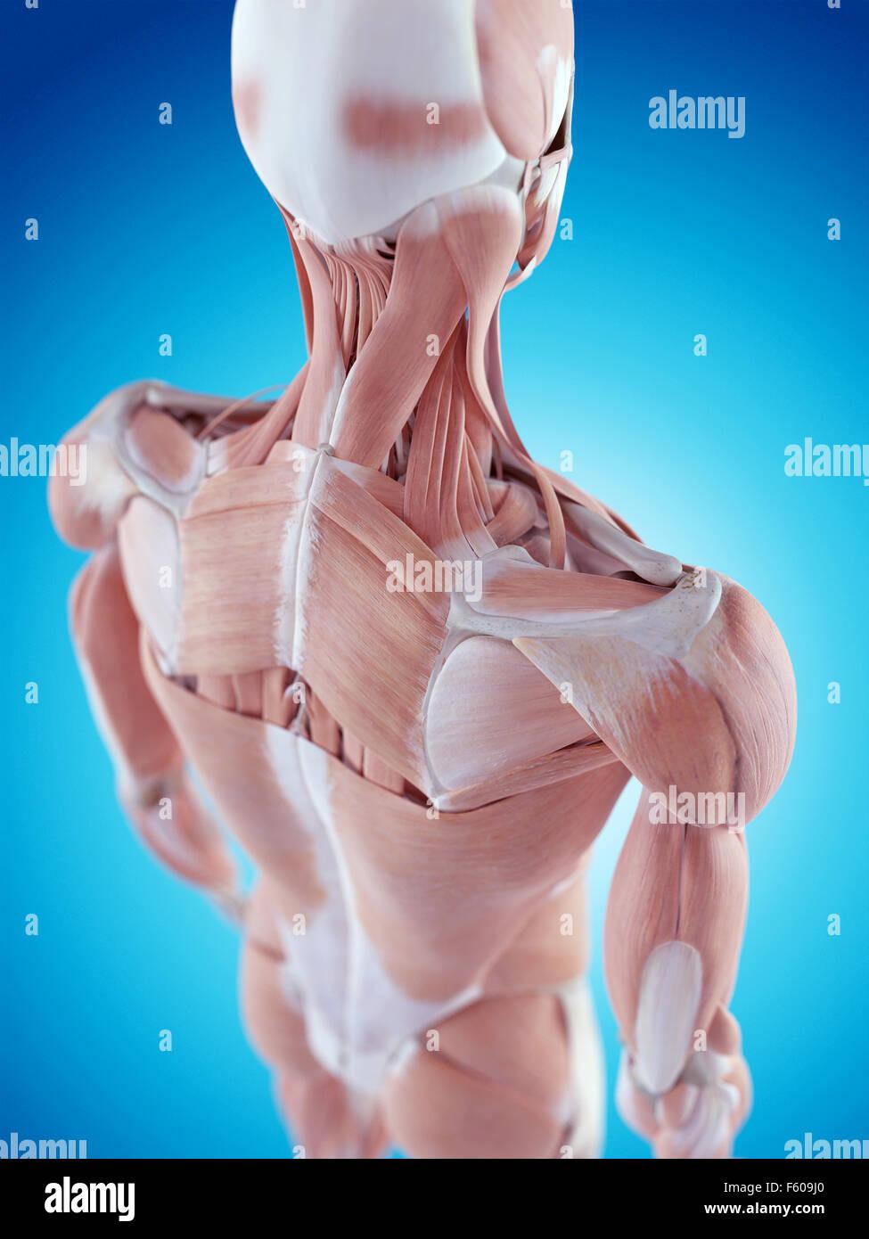 Rhomboid Muscle Stockfotos & Rhomboid Muscle Bilder - Alamy