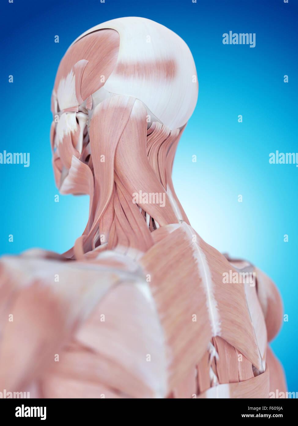 medizinisch genaue Abbildung der Hals Anatomie Stockfoto, Bild ...