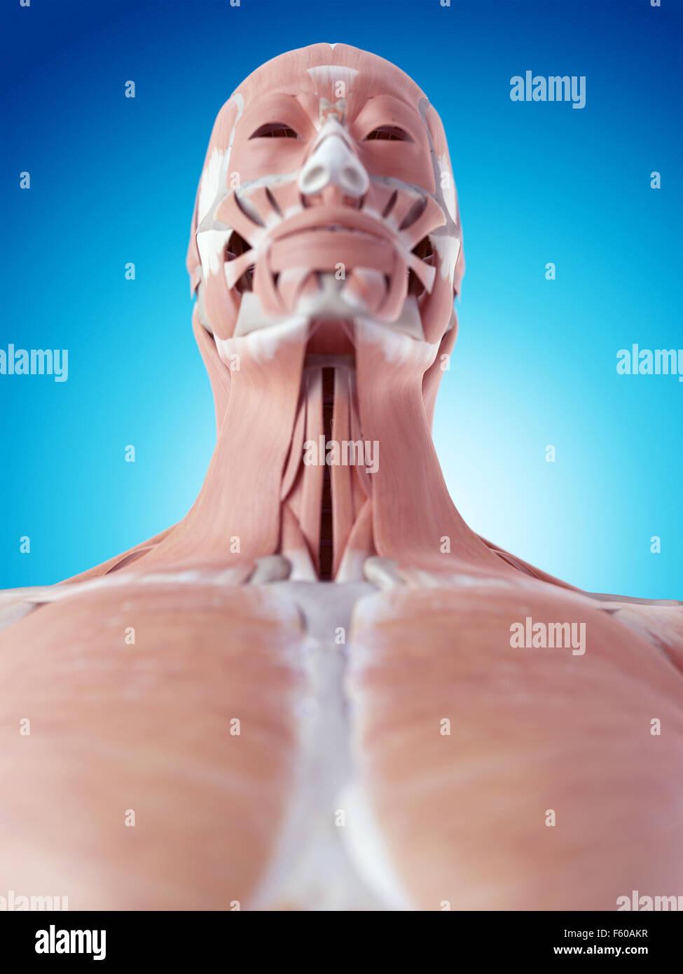 Platysma Stockfotos & Platysma Bilder - Alamy