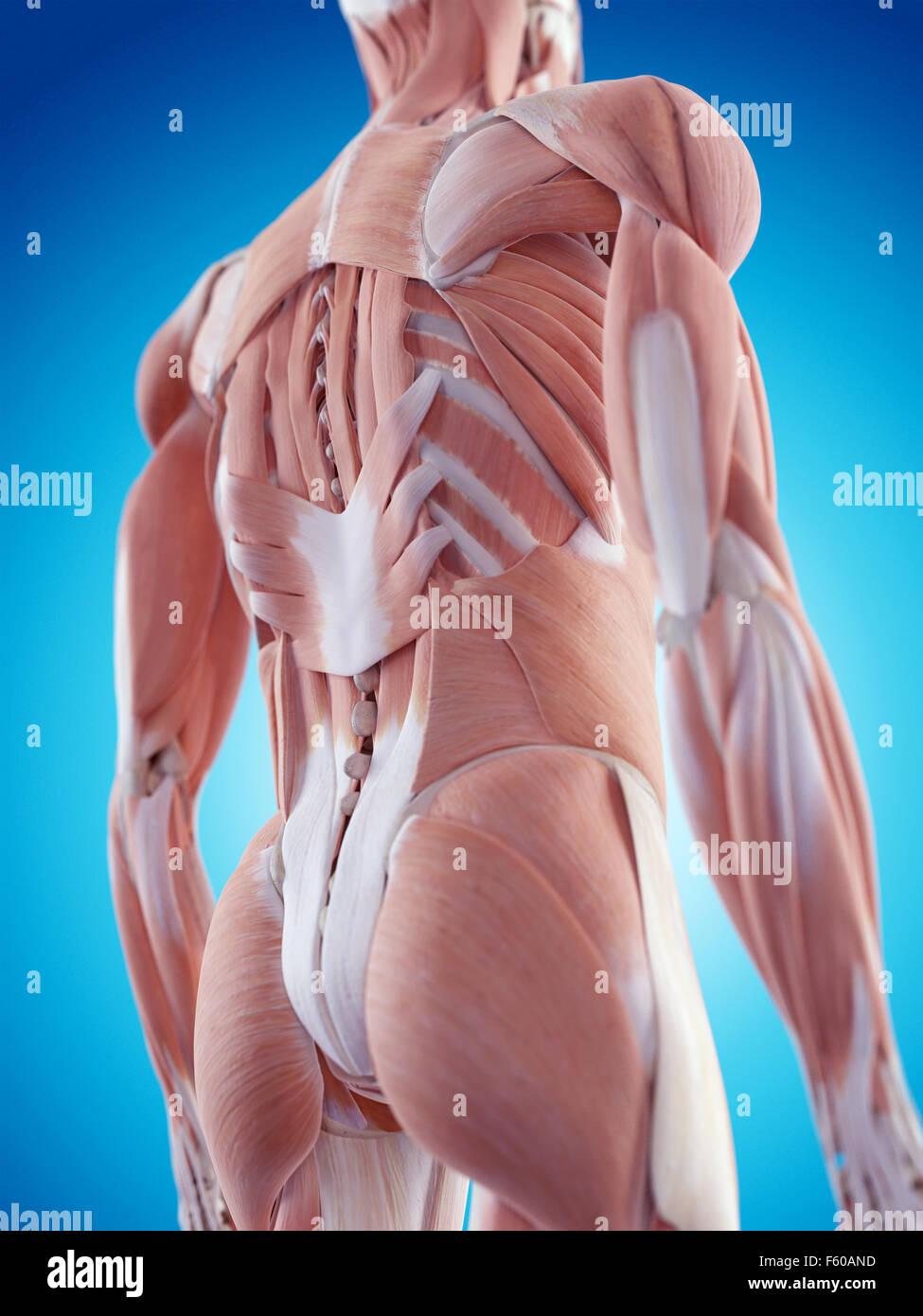 Ziemlich Diagramm Der Muskeln Im Rücken Ideen - Menschliche Anatomie ...