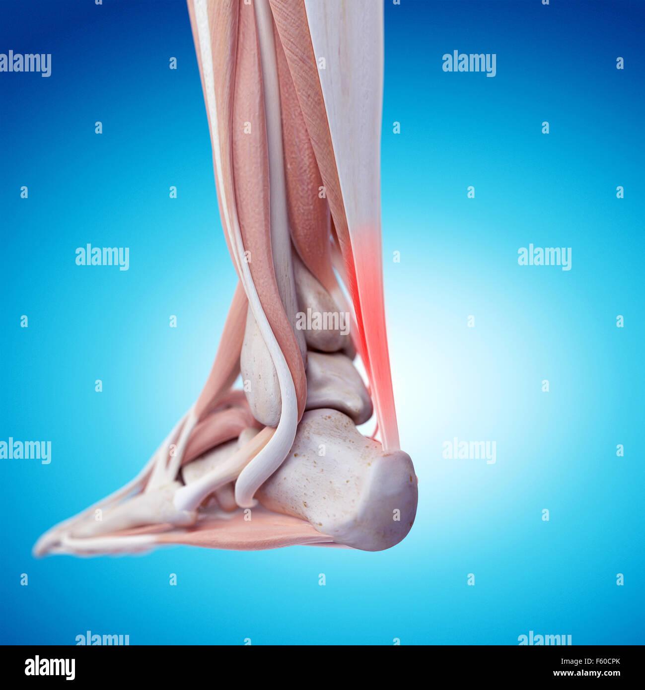 Foot Ankle Bones Anatomy Male Stockfotos & Foot Ankle Bones Anatomy ...