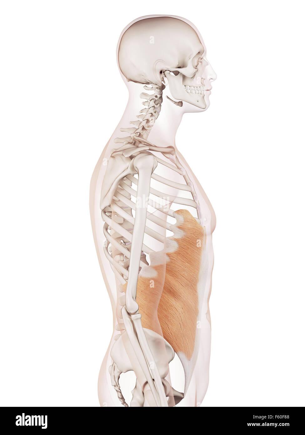 Charmant Nasenvorhof Anatomie Galerie - Physiologie Von Menschlichen ...