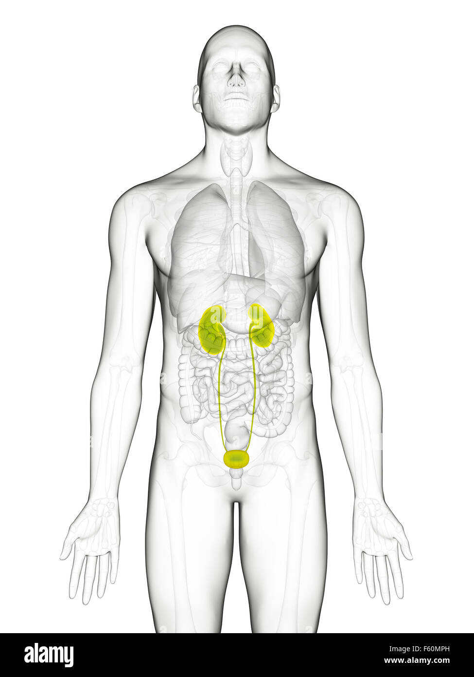 Ziemlich Menschliche Körper Harnsystem Fotos - Menschliche Anatomie ...