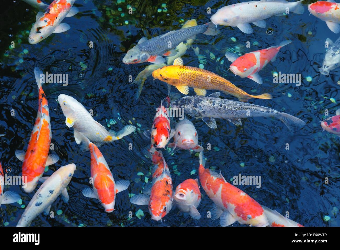 Koi japan stockfotos koi japan bilder alamy for Koi und goldfische in einem teich
