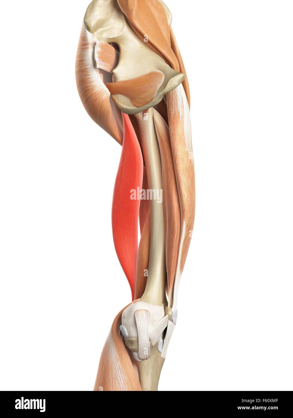 Leg Biceps Stockfotos & Leg Biceps Bilder - Alamy
