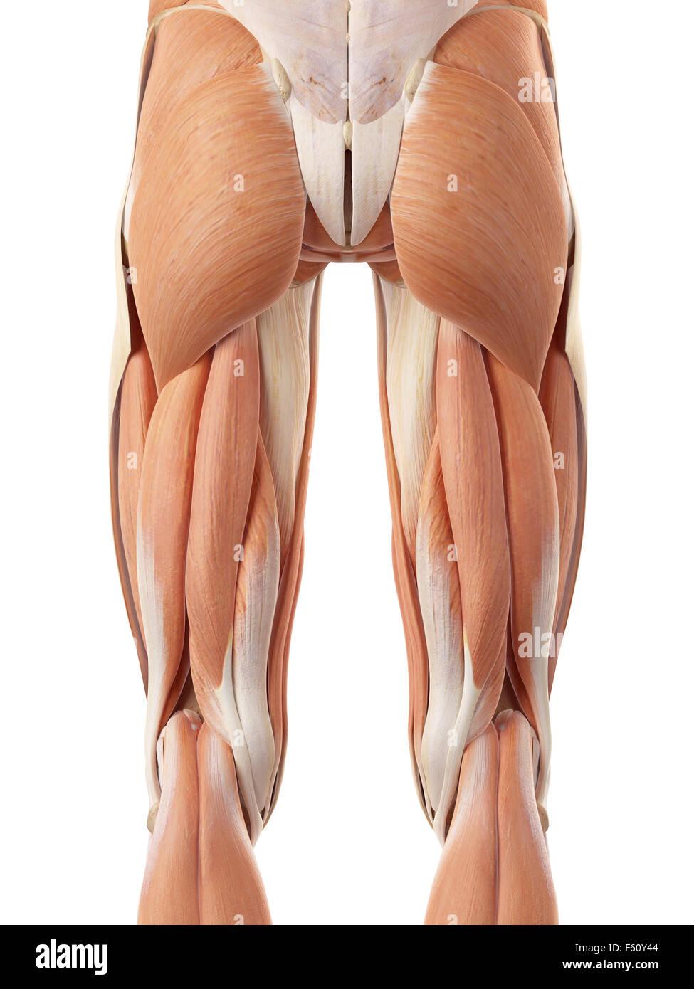 medizinisch genaue Abbildung der hinteren Beinmuskulatur Stockfoto ...