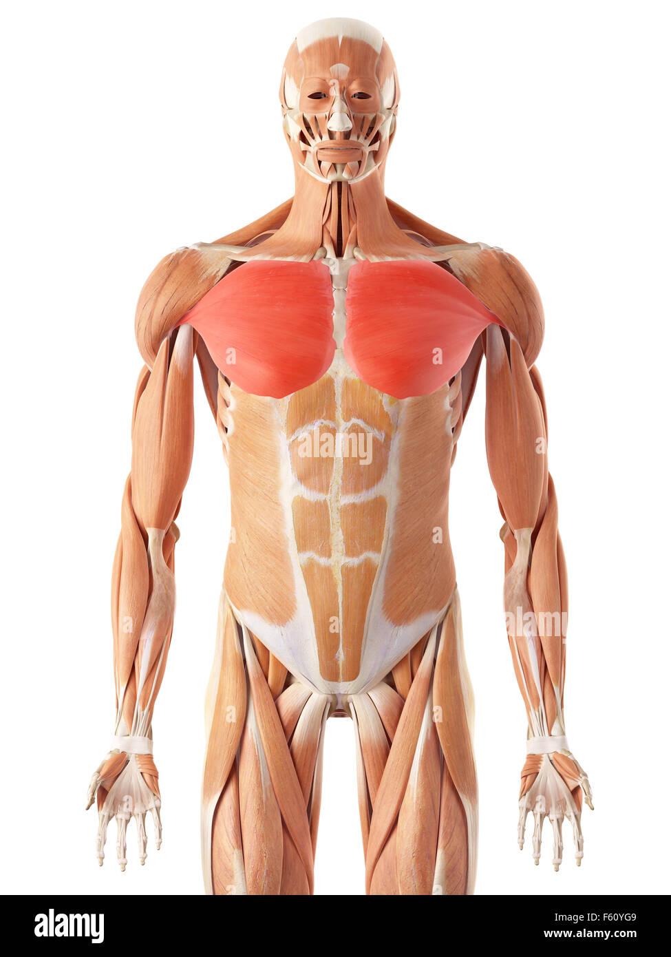 Illustration Pectoralis Major Muscle Stockfotos & Illustration ...