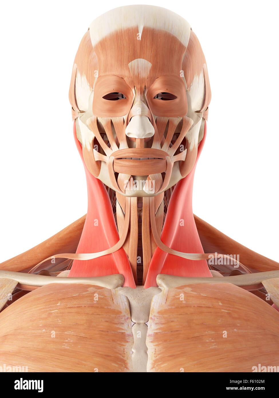 Sternocleidomastoid Muscle Stockfotos Sternocleidomastoid Muscle