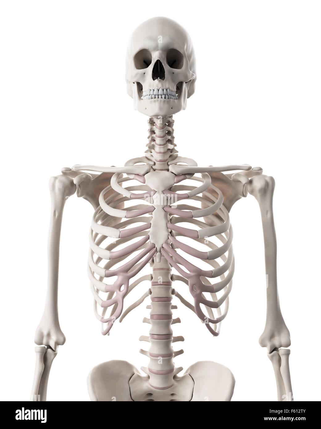 medizinisch genaue Abbildung des Skelettsystems - thorax Stockfoto ...